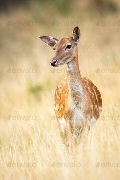 Portrait of a cute fallow deer observing on a meadow with dry grass in autumn