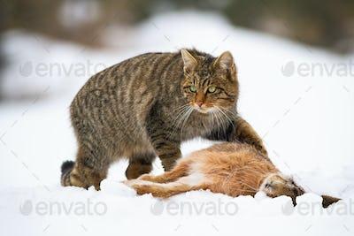 European wildcat, felis silvestris, with a kill of dead rabbit