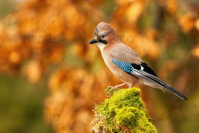 Horizontal composition of Eurasian jay sitting on trunk with copy space