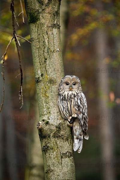 Vertical composition of wild ural owl in woodland with copy space