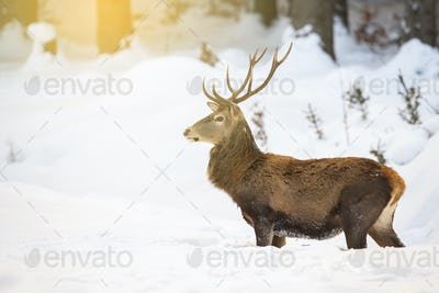 Red deer stag standing in deep snow in the morning while sun is raising