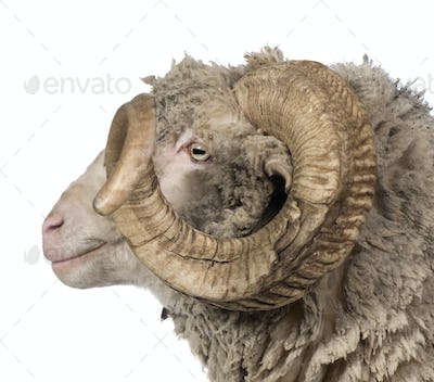 Side view of Arles Merino sheep, ram, 5 years old, in front of white background