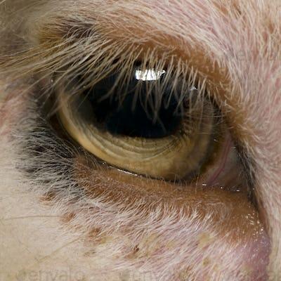 Close-up of Arles Merino sheep eye