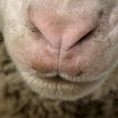 Close-up of Arles Merino sheep nose and mouth