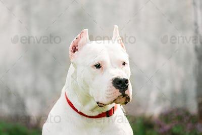 White Dog Of Dogo Argentino Also Known As The Argentine Mastiff