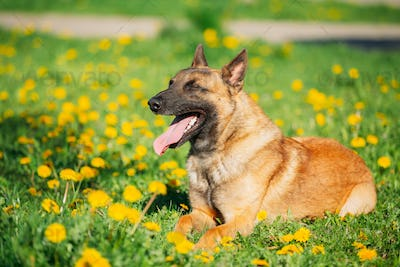 Malinois Dog Sitting Outdoors In Green Spring Meadow With Blooming Dandelion Flowers. Belgian