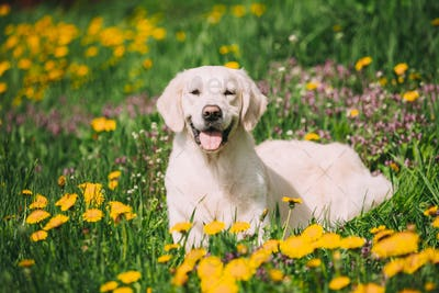 Funny Young Happy Labrador Retriever Sitting In Grass And In Yellow Dandelions Outdoor. Spring