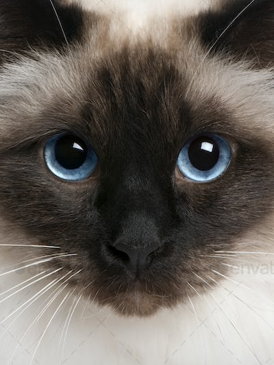 close up of a Birman (2 years old)