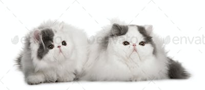 two Persians (4 monhs old)