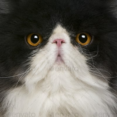 close up of a Persian (10 monhs old)