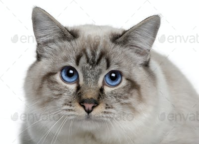 close up of a Birman