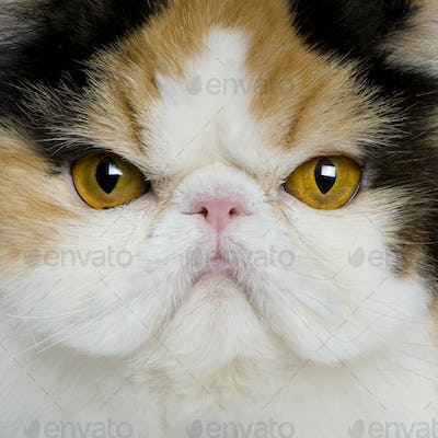 close up of a Persian (1 year old)