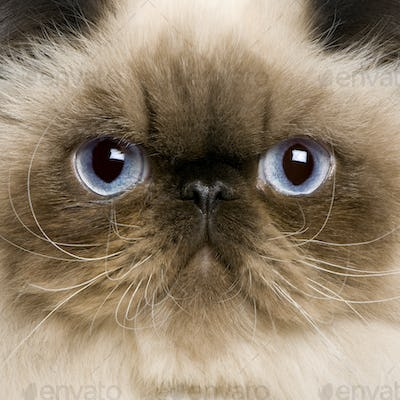 close up of a Persian (8 monhs old)