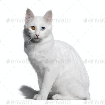 Turkish Angora (18 months old)
