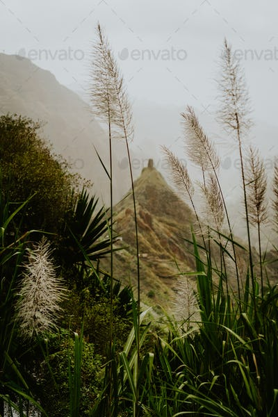 Sugarcane plantation growing on the way of trekking route 202 via Xo-Xo valley to Ribeira Grande