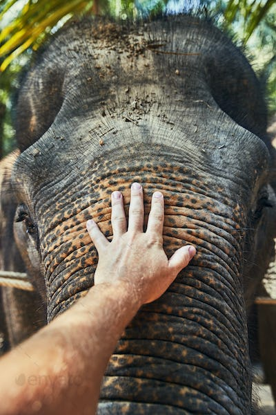 Man stroking the trunk of a large Asian elephant