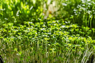 Microgreens on the windowsill in the sunlight