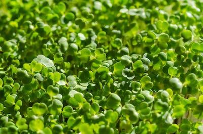 Arugula sprouts in sunlight, macro food photo