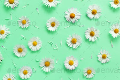 White daisies on a light green background