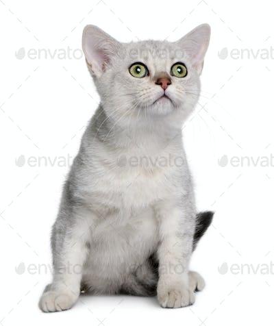 Asian kitten (4 months old)