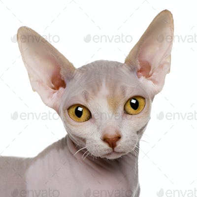 close up of a Sphynx kitten (5 months old)