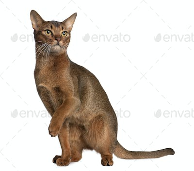 Abyssinian (9 months old)
