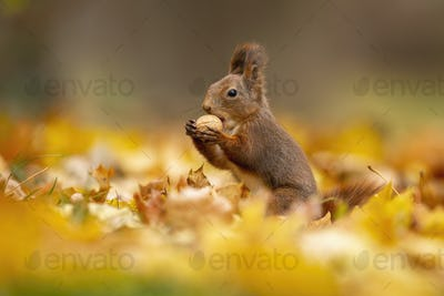 Little red squirrel eating a walnut among the dry autumn leaves
