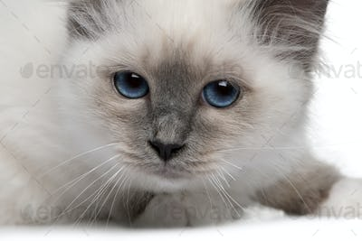 close up of a Birman kitten