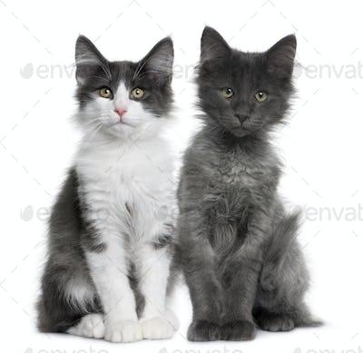 two Norwegian Forest Cat kitten (4 months old)