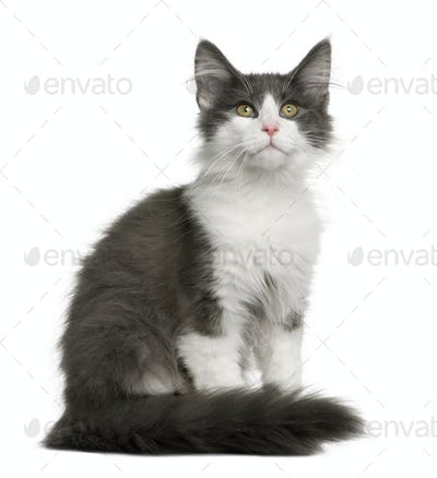 Norwegian Forest Cat kitten (4 months old)