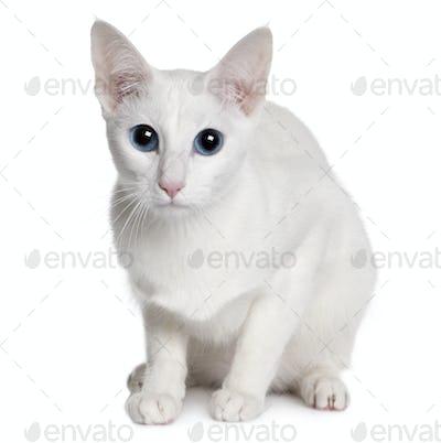 Oriental Shorthair (11 months old)