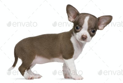 Chocolate and white Chihuahua puppy, 8 weeks old, standing in front of white background