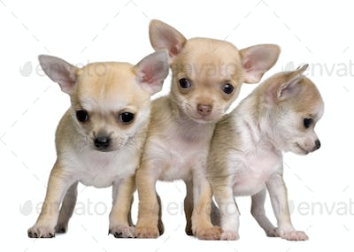 Chihuahua puppies, 8 weeks old, standing in front of white background