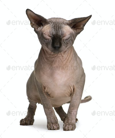 Sphynx cat with eyes closed, 1 year old, standing in front of white background