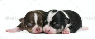 Mother Chihuahua and her puppy, 4 days old, resting in front of white background