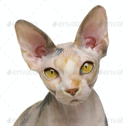 Sphynx cat, 1 year old, in front of white background