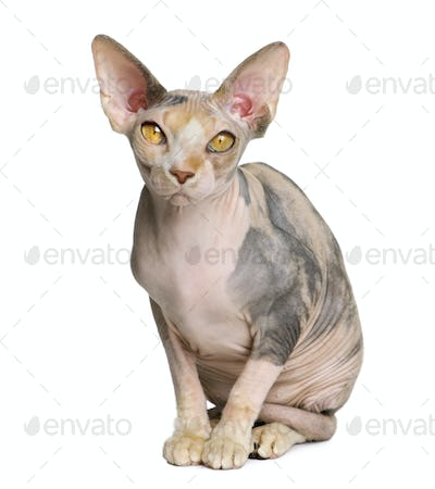 Sphynx cat, 1 year old, sitting in front of white background
