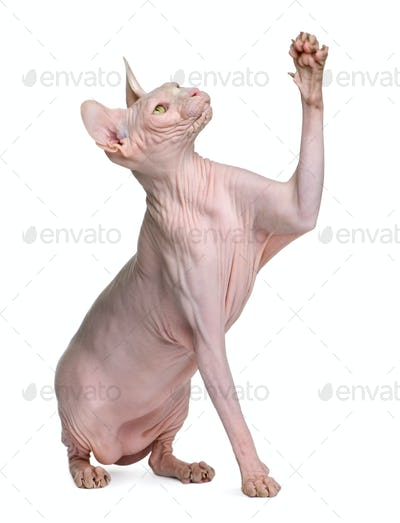 Sphynx cat, 1 year old, sitting in front of white background with paw up