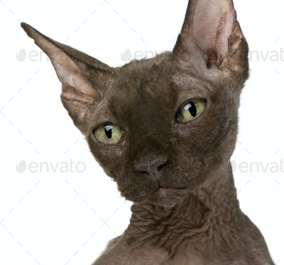 Old Sphynx cat, 12 years old, in front of white background