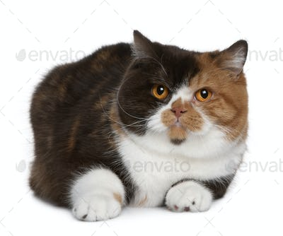 British shorthair cat, 1 year old, in front of white background