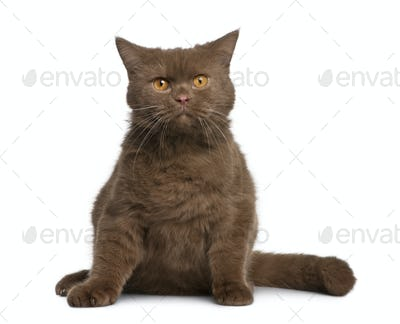 British shorthair cat, 11 months old, sitting in front of white background