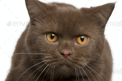 British shorthair cat, 11 months old, in front of white background