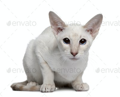 Siamese kitten, 5 months old, sitting in front of white background