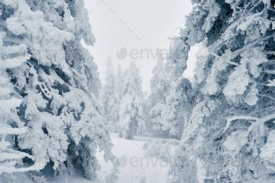 Long path running among snowy spruces in the forest after blizzard
