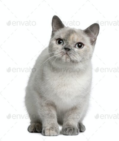 British shorthair cat, 8 months old, sitting in front of white background