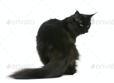 Maine coon, 3 years old, sitting in front of white background