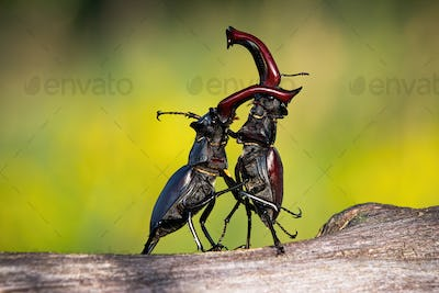 Stag beetles standing in an upright position during a territorial combat