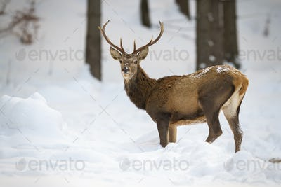 Brown red deer with antlers walking attentively through the winter woodland