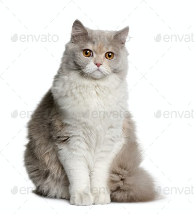 British longhair cat, 8 months old, sitting in front of white background