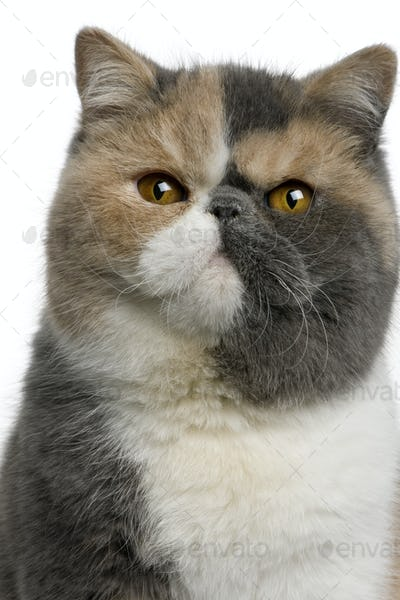 Exotic shorthair cat, 8 months old, in front of white background
